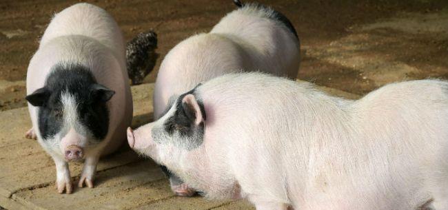 非洲猪瘟疫情封锁6周 双汇回应无害化处理1362头生猪