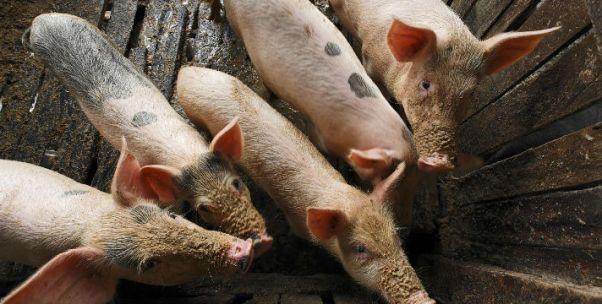 俄最大农企来青岛养猪,50亿美金背后的野心