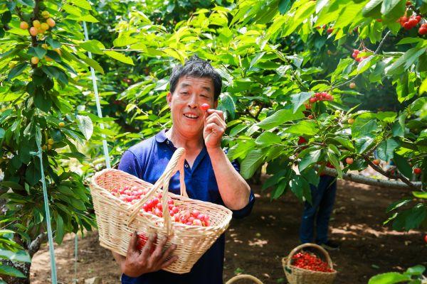 在烟台九岭夼村,果农抱着刚摘的山东大樱桃喜笑颜开