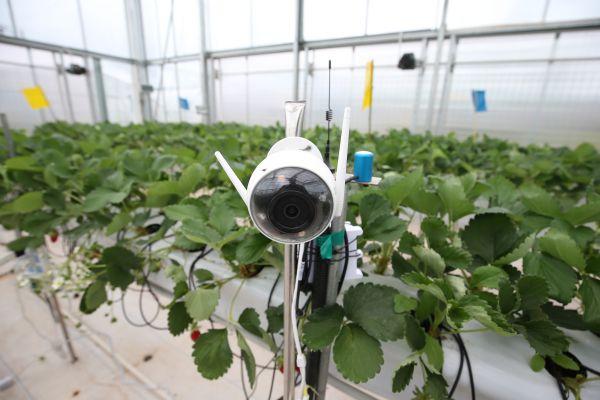 CyberFarmer.HortiGraph在AI溫室內加裝的攝像頭,通過圖像識別算法來智能偵測草莓的生長狀態