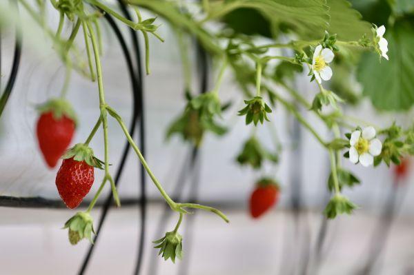 位于云南昆明國家高原云果產業園的比賽基地中,第一個產季的草莓收獲已進入尾聲,第二個產季的花序已開始開花掛果