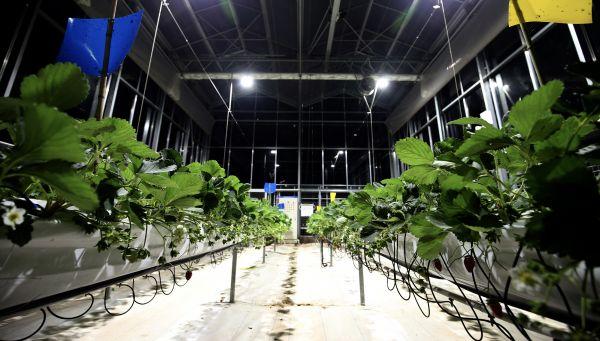 在各類算法的支持下,比賽基地內的草莓將在11月份很快進入第二個豐產季,并為產區輸出數據經驗