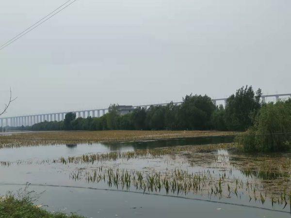 连伯滩被淹没的玉米地 记者高飞昌 摄